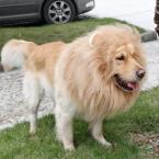 Необычные одеть погладить костюм львиную гриву парик для больших собак смешно пародия парик позирует лев лабрадор золотистый ретривер средний собака