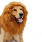 для домашних животных собака игрушки смешно пародия парик позирует лев лабрадор золотистый ретривер больших собак